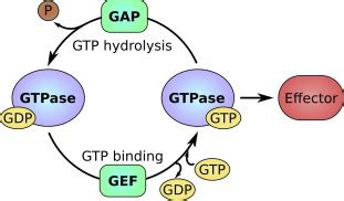 The GTP→GDP cycle of small GTPases such as Ras