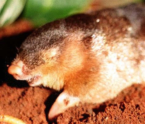 Golden Moles Photo Gallery | IUCN Afrotheria Specialist Group
