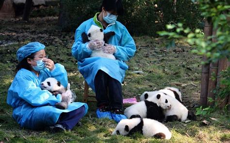 Panda daycare is fighting to protect one of the world's